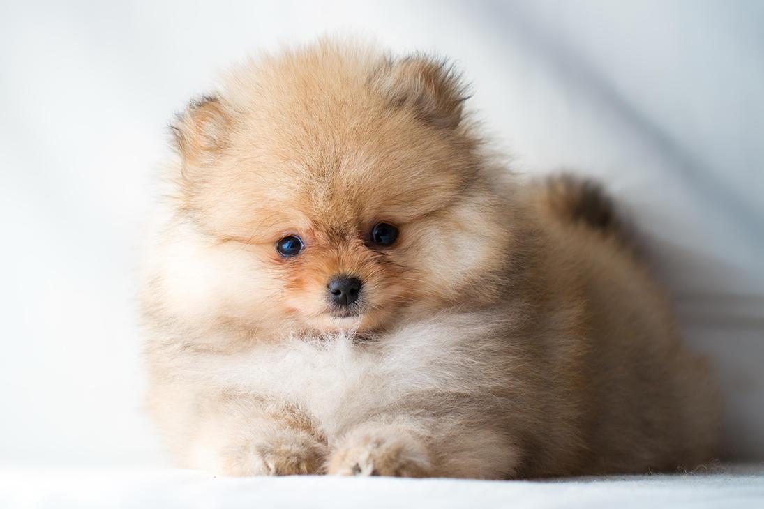 Pomeranian Puppy by Avestra