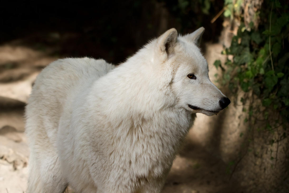 Arctic Wolf by Avestra