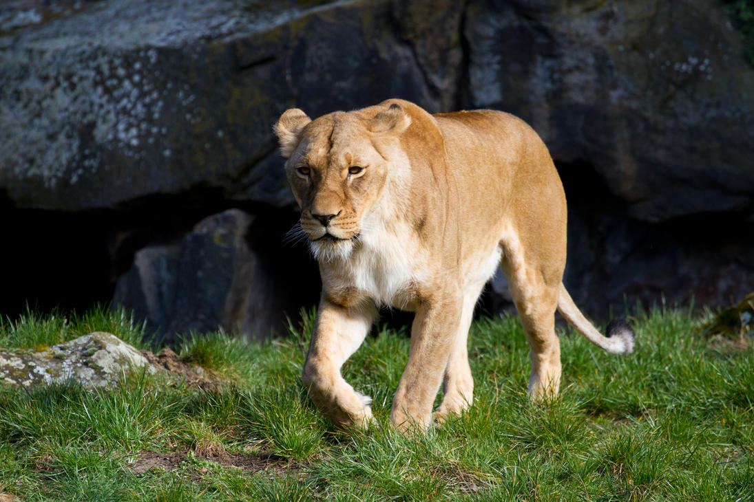 Lioness by Avestra