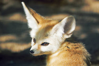Fennec Fox II by AndreasAvester