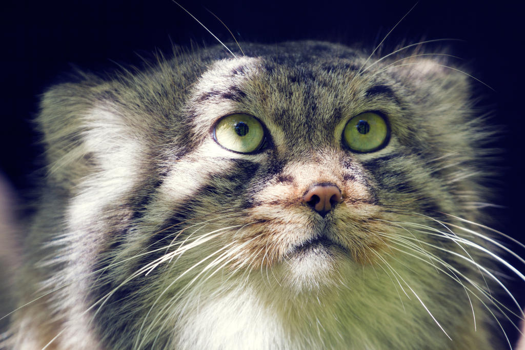 Pallas's Cat by Avestra