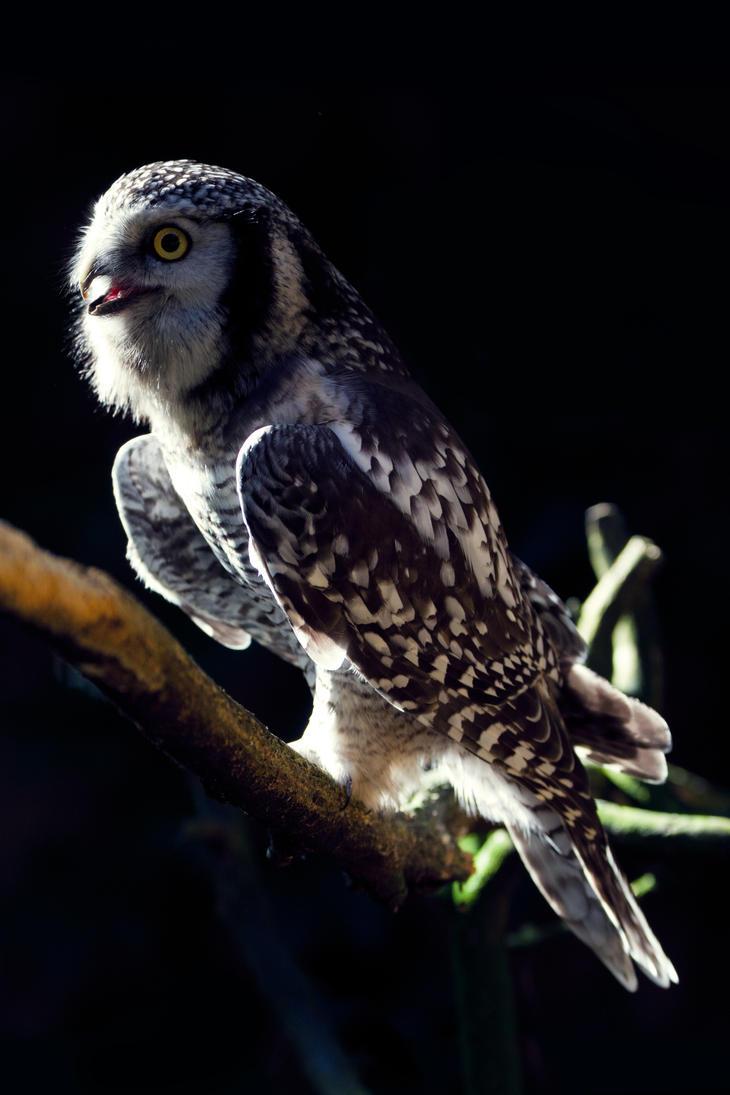 Northern Hawk-Owl by Avestra
