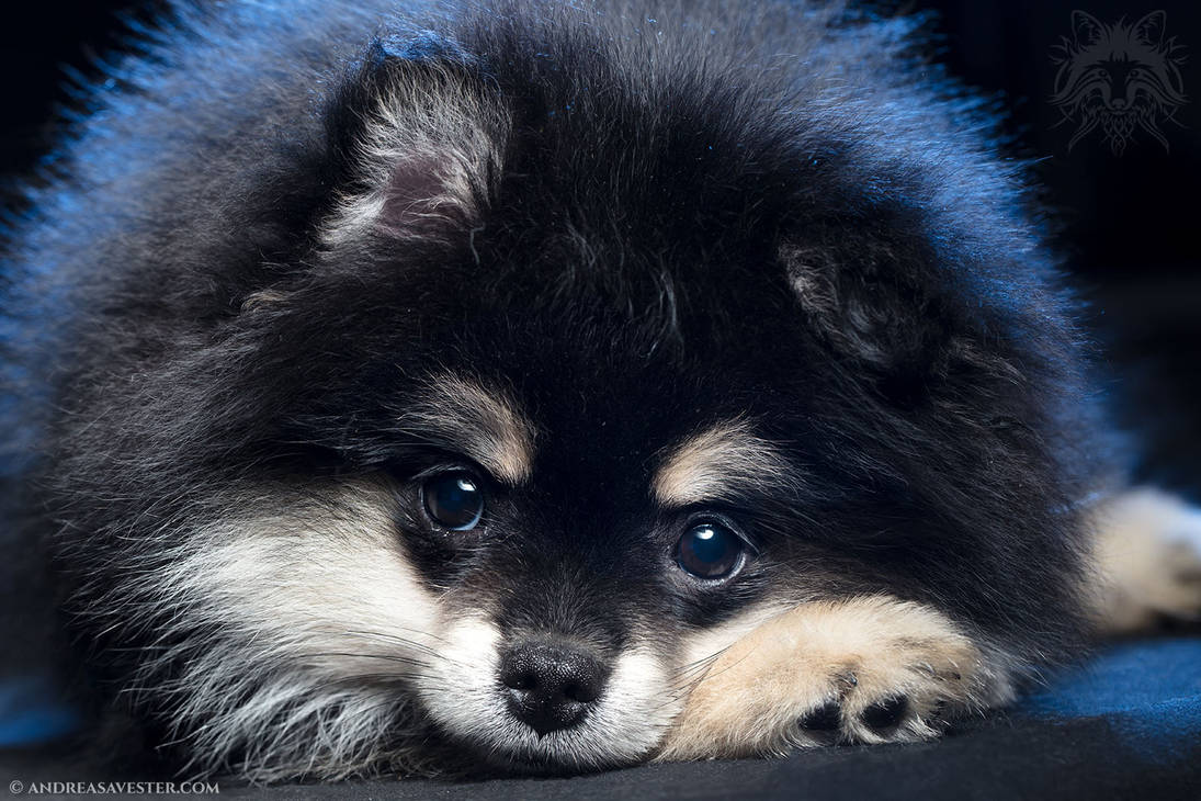 German Spitz Puppy by AndreasAvester
