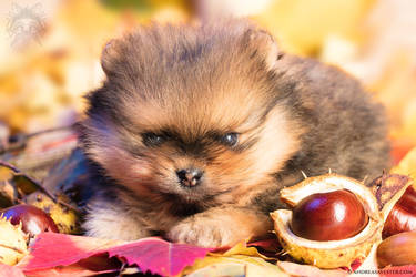 Five Weeks Old Pomeranian Puppy
