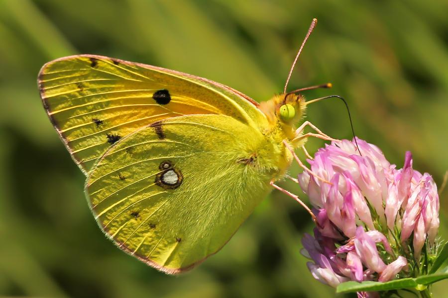 Butterfly IV by TomazKlemensak