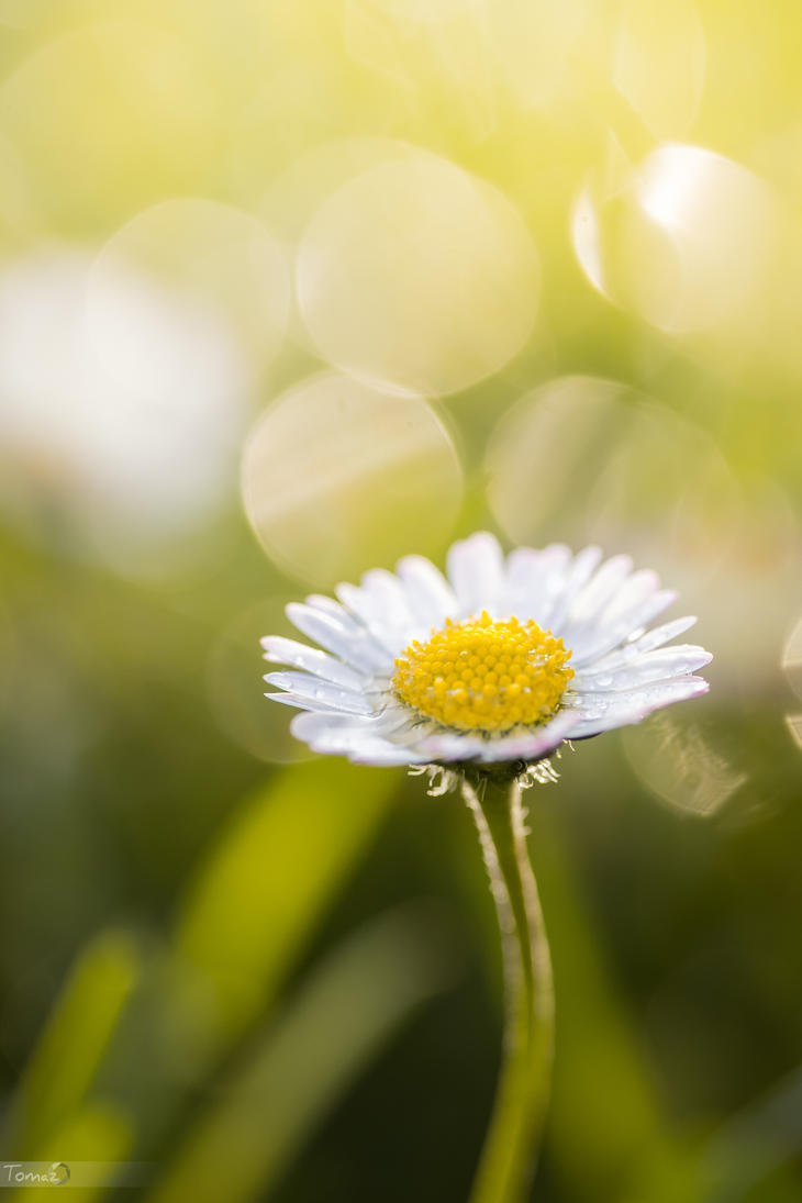 Daisy by TomazKlemensak