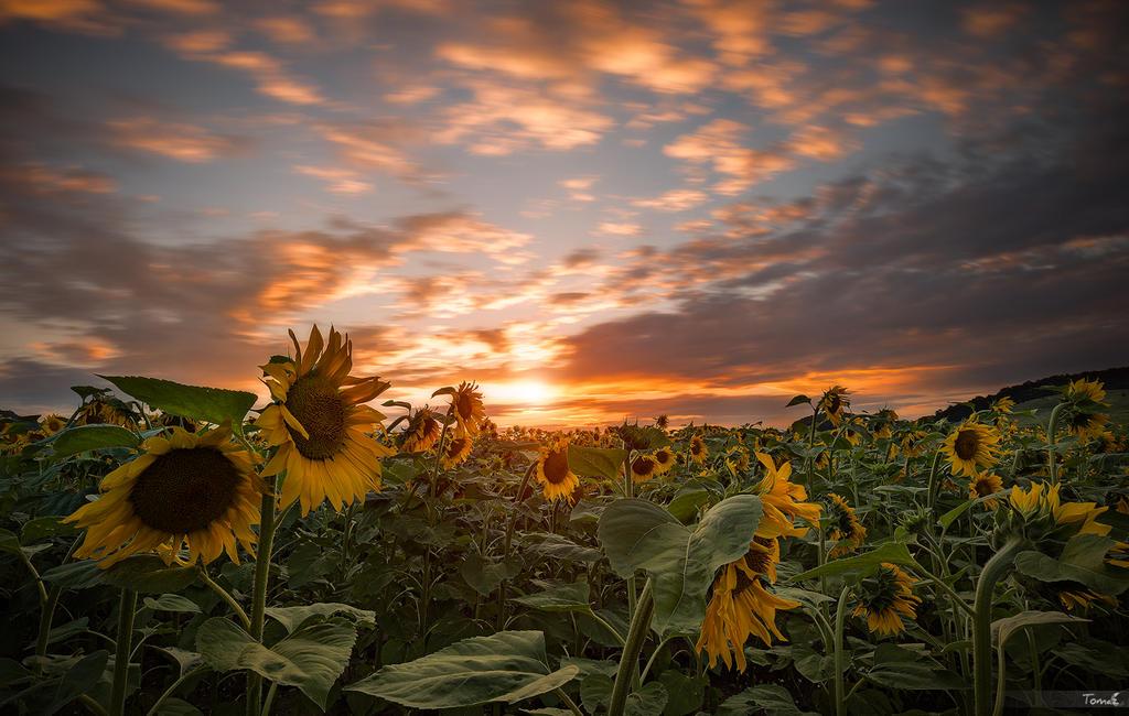 Sunflowers by TomazKlemensak