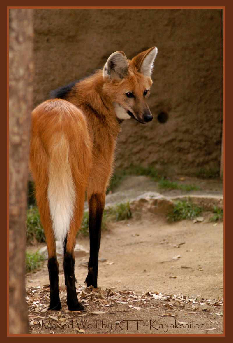 Maned Wolf Pictures Maned Wolf by Kayaksailor