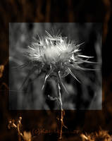 Desaturated Thistle by kayaksailor