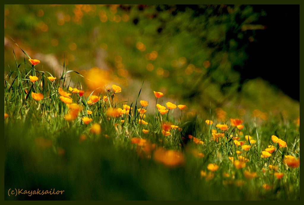 Poppy Field by kayaksailor