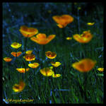 Poppies by moonlight?