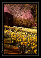 Daffodil Hill by kayaksailor