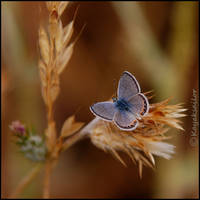 Butterfly Blue by kayaksailor