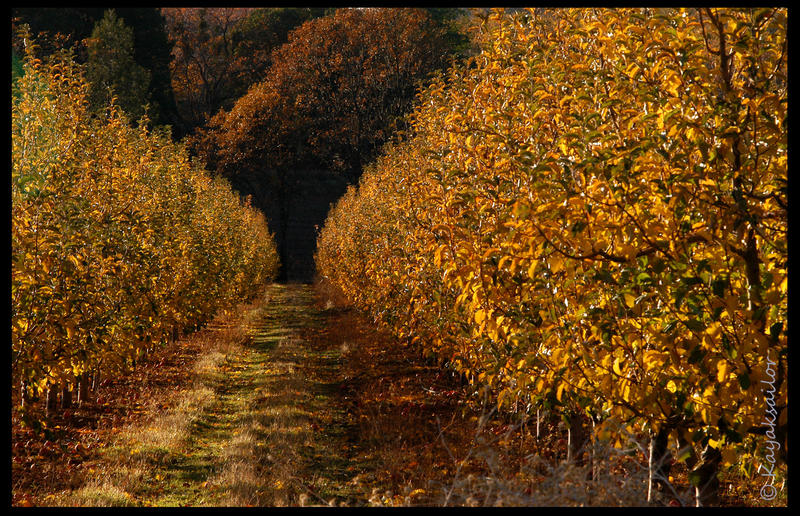 Apple Orchard by kayaksailor