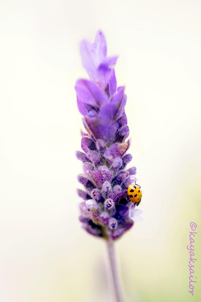 Lavender Ladybug by kayaksailor