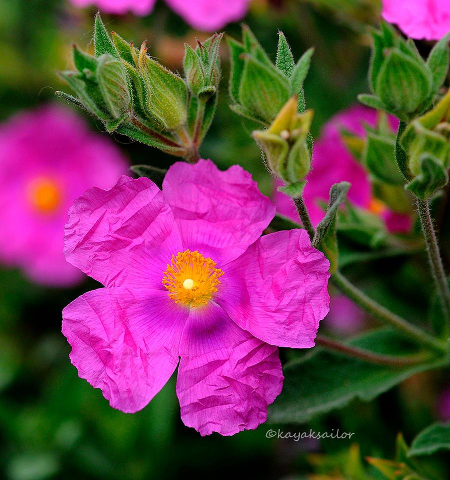 Rockrose pink by kayaksailor