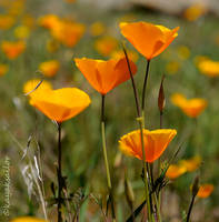 Poppy Crop by kayaksailor