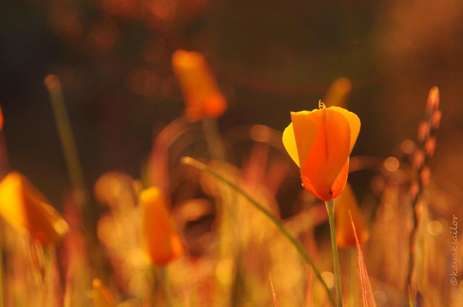 Sunset poppy by kayaksailor