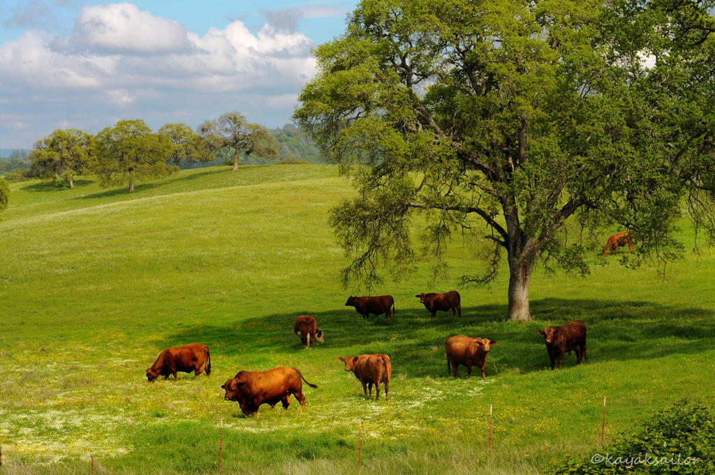 California Happy Cows by kayaksailor