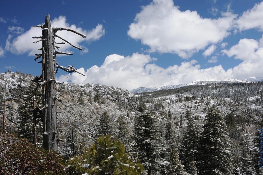 Spring snow on pines by kayaksailor