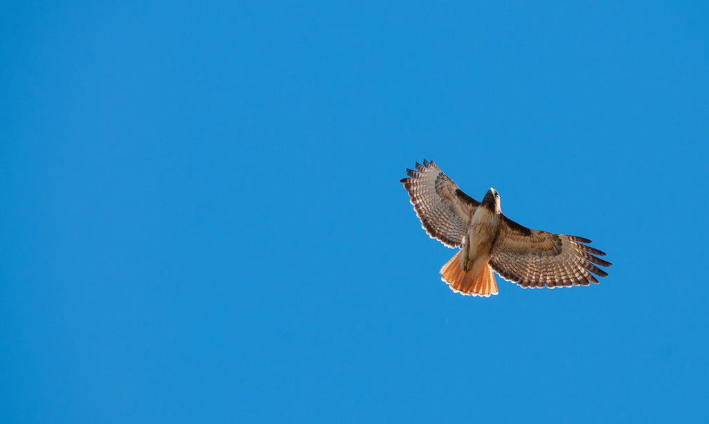Redtail in a sky of blue by kayaksailor