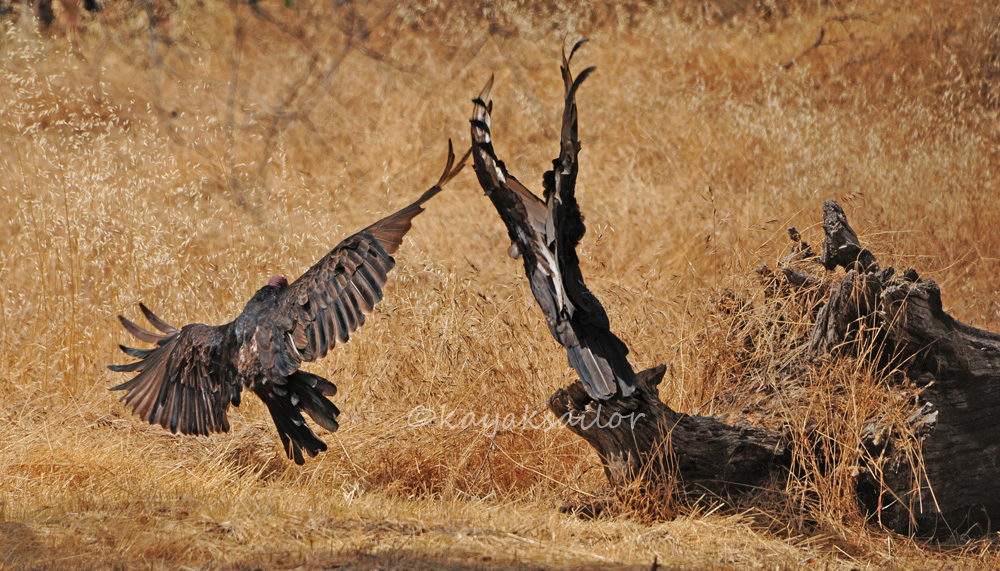 Vulture takeoff by kayaksailor