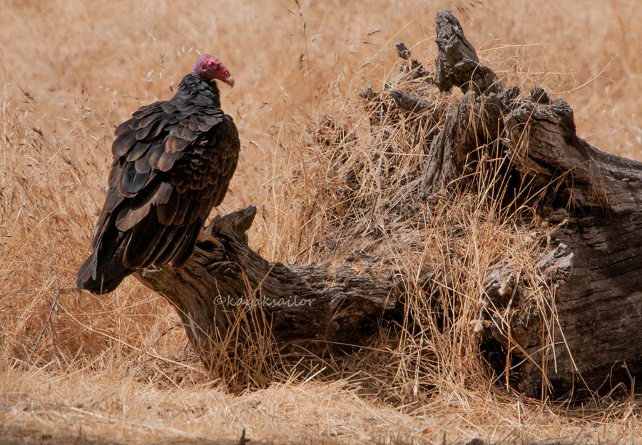 Vulture poised by kayaksailor