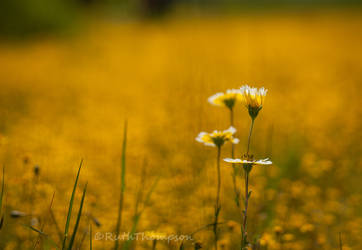 sea of yellow by kayaksailor