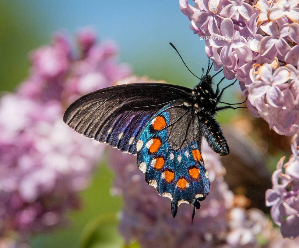 Butterfly blues by kayaksailor