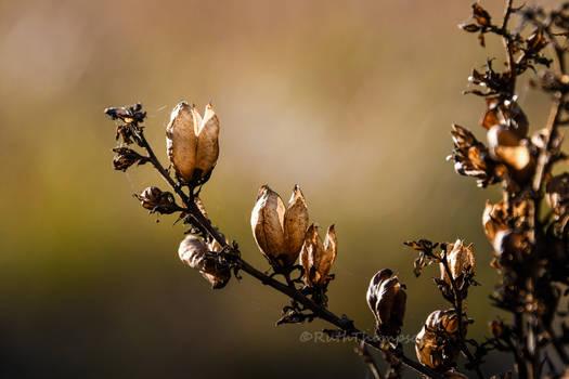 Autumn seedpods