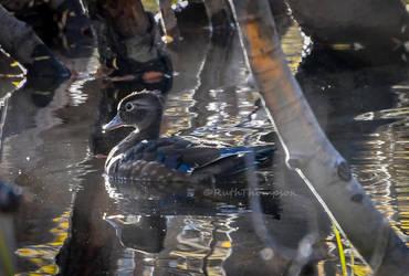 Wood duck floats