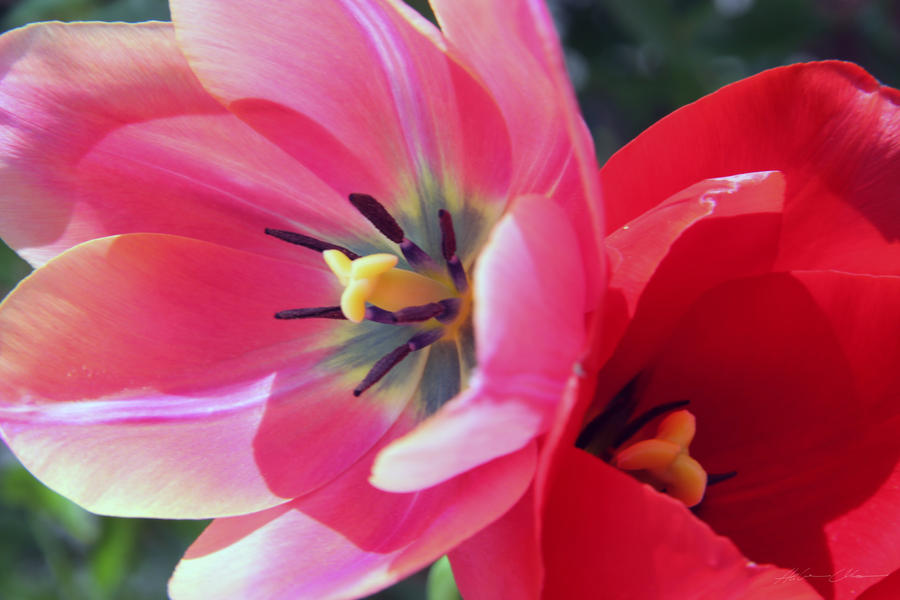 Tulips by parisky