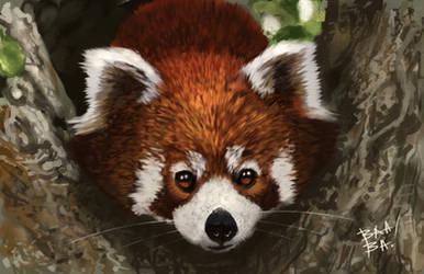 Red Panda Study by 2BeanSoup