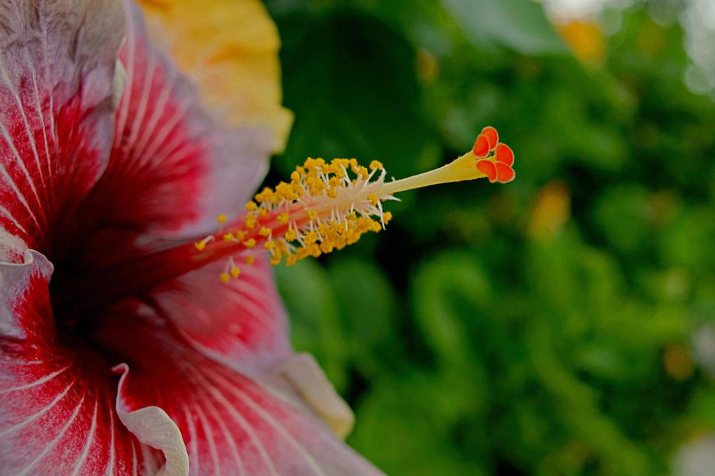 Hibiscus Stigma By Mickeymitchell On Deviantart