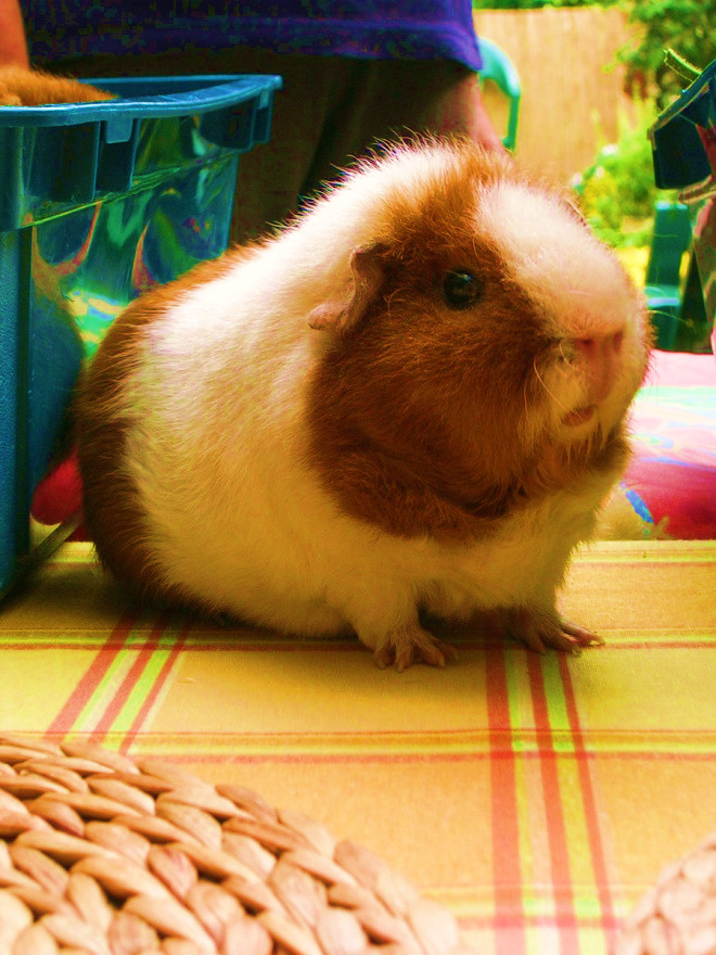 Beautiful Guinea Pig by Sacred-Wolf-Aqua