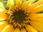 Sunflower Center by OrphieG