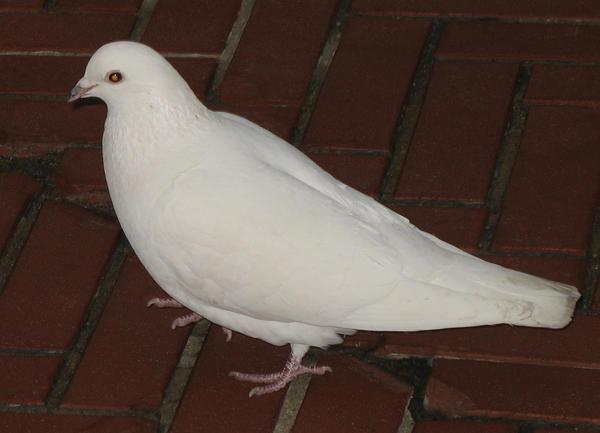White Dove Stock 3 by pokethstock