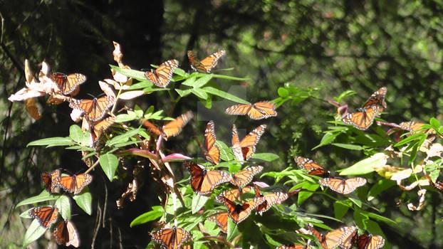 mariposas monarca by Sweetnigthmares
