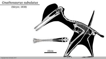 Gnathosaurus Skeletal by SassyPaleoNerd