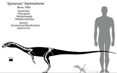 Syntarsus Skeletal