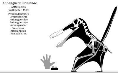 Anhanguera ?santanae Skeletal