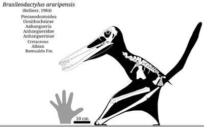 Brasileodactylus Skeletal