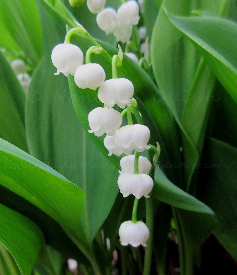 Lily Of The Valley By Lady-Kelaria On DeviantArt