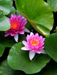 Lotus by Li-Fong