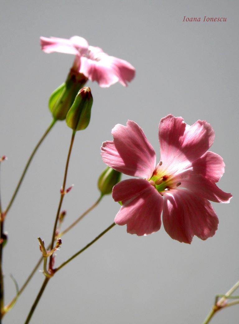 pink by zxcvbnmlkj