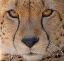 Cheetah close up by hotwiar