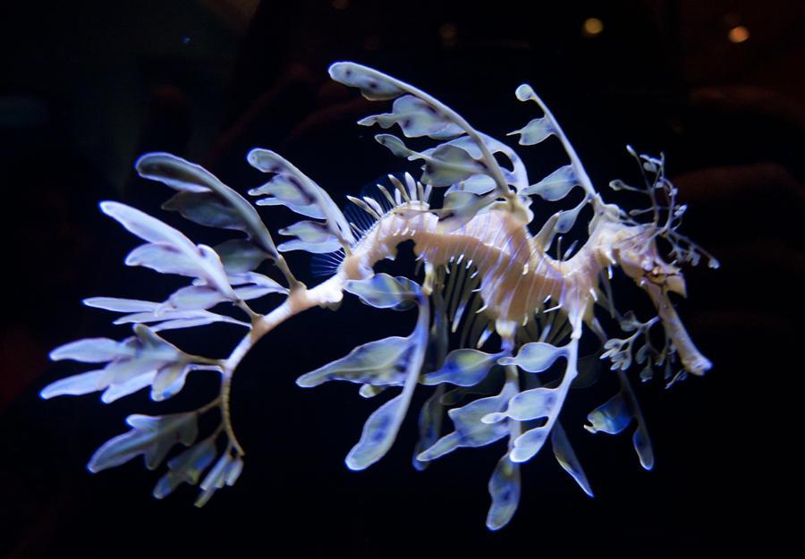 Leafy Sea Dragon 2 By Hotwiar
