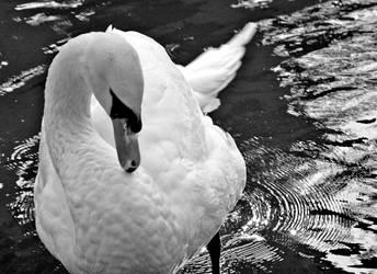 Swan in San Francisco