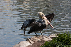 Pelican preening San Fran 2012