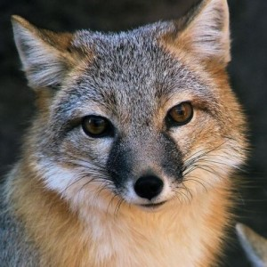 vulpesbengalensis's Profile Picture